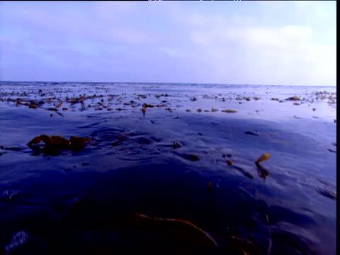 Kelp bobs in swell