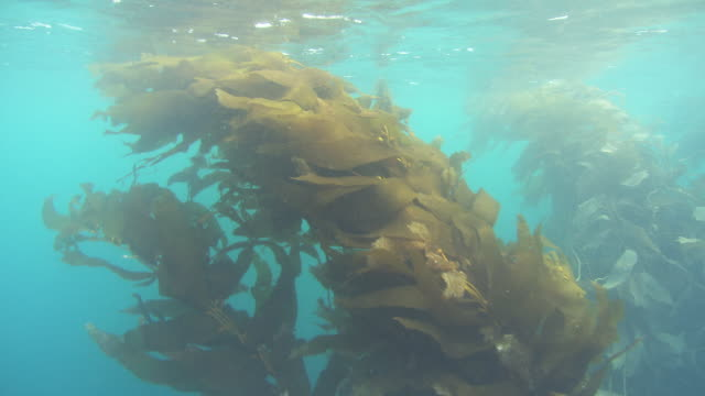 Kelp branches sway in the ocean's current. Available in HD.