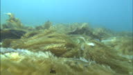 A kelp forest lines a seabed.