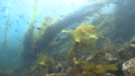 Kelp forest scenic with lots of fish, including Garibaldi (Hypsypops rubicundus)