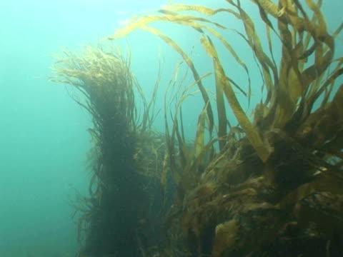 WS kelp fronds against sunburst on surface. Channel Islands, UK
