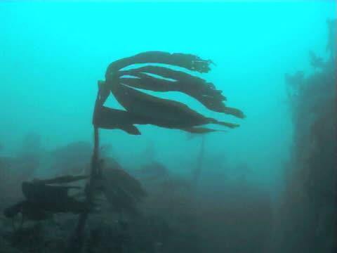 Kelp fronds swaying in gentle tide current, CU