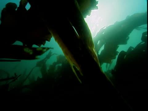 Kelp sways in an ocean current.