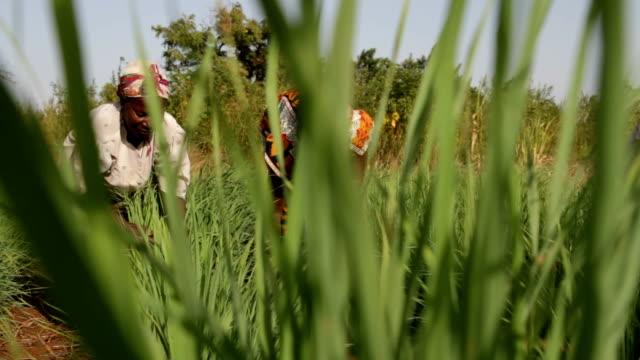 Kenya, Meru, agriculture, two women working in a field of lemongrass.