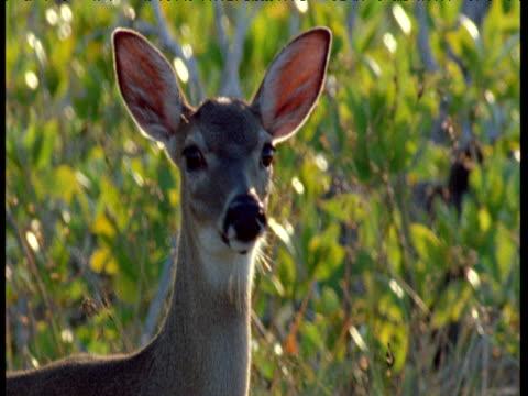 Key deer looks at camera nervously then walks away, Florida Keys