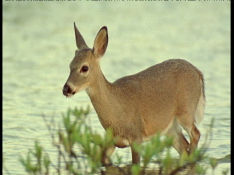 Key deer wades through mangrove swamp, Florida Keys