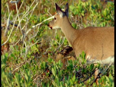 Key deer walks through mangrove forest, Florida Keys