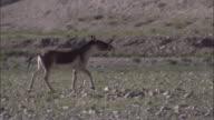 Kiang stallion flehmens on plateau, Ladakh, India
