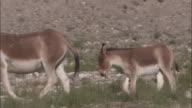 Kiangs and foal walk on plateau, Ladakh, India