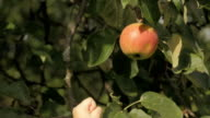 Kid of Two Picked an Apple
