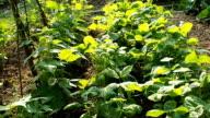 Kidney bean plants seedbed in the garden VIDEO