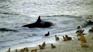 MS Killer whale lunges at seals playing in surf and then turning back out to sea / Patagonia, Argentina