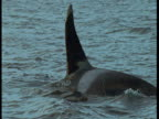 A killer whale porpoises in choppy water near Norway.