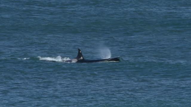 Killer whale surfacing in slow motion,Punta Norte