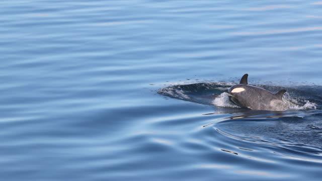 Killer Whales in Antarctica
