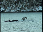 Killer whales porpoise and lobtail in choppy water near the coast of Norway.