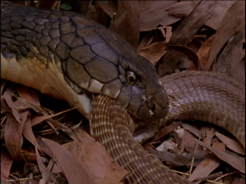 King cobra chews at dead Indian cobra in forest, India