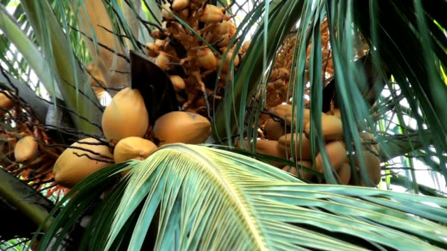 King coconuts on their palm tree; backzoom