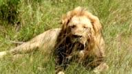 Lion King-Size-Bett