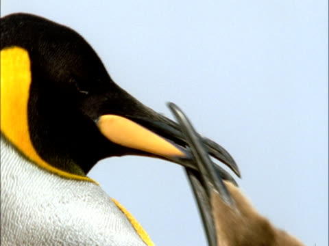 King penguin (Aptenodytes patagonicus) and chick, Marion Island, South Africa