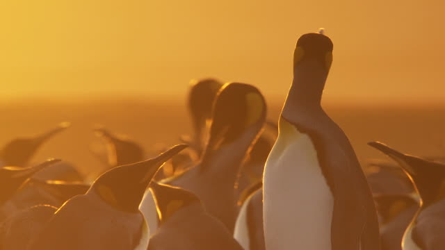 MS King Penguin Aptenodytes patagonicus standing at sunset with group in back ground / Volunteer Point, Falkland Islands