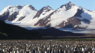 King Penguin colony