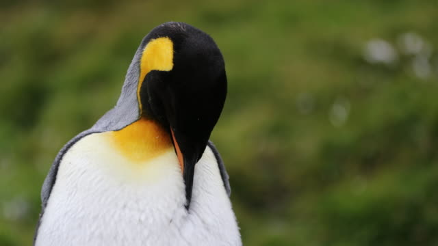 King Penguin headshot, green background, molting
