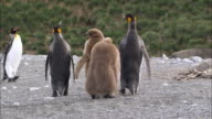 MS King penguins adults and chicks AUDIO / Gold Harbour, South Georgia, Antarctica