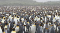King Penguins at Salisbury Plain