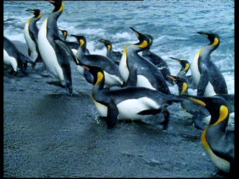 King penguins leave rough sea and run up onto beach.
