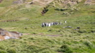 WS PAN King penguins on the mountain to two Southern Elephant Seals lying in the grass, Grytviken, South Georgia and the South Sandwich Islands