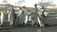 MS, King penguins (Aptenodytes patagonicus) quarrelling, South Georgia Island, Falkland Islands, British overseas territory