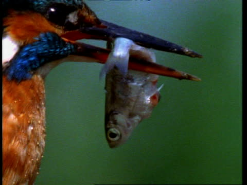 CU Kingfisher, Alcedo atthis, head with fish, England, UK
