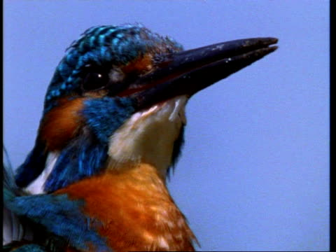 CU Kingfisher, Alcedo atthis, side view of head and beak, England, UK