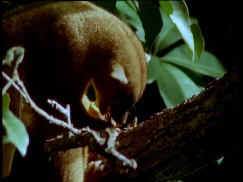 Kinkajou eats fruit in rainforest at night, South America