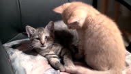 Kitten licking each other in slow motion