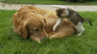 HD: Kitten Playing With Dog