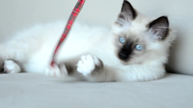 Kitten playing with ribbon