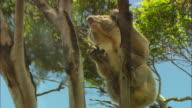 LA, TU, CU, Koala (Phascolarctos cinereus) climbing on Eucalyptus tree, Australia