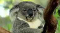 Koala in active moment.