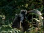 Koala mother carries baby across ground, Victoria, Australia