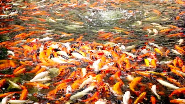 Koi Carp Fish in Pond