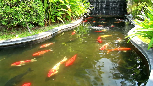 Koi carp fish in pond stock footage video getty images for Koi pond hd