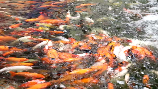 Koi Carp in pond