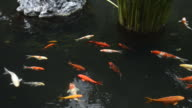 Koi fish in pond water