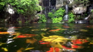 Koi fish in pond with waterfall