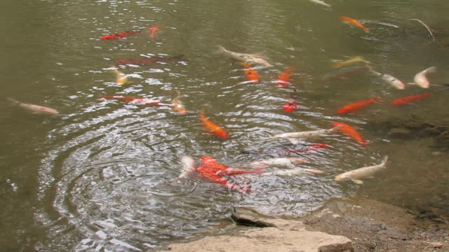 Koi fish in the natural pond