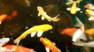 Koi fish swimming in a small pond.