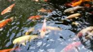 Koi fish swimming in pond