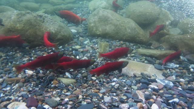 Kokanee Salmon Run (4k)